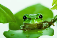 Green tree frog peeking out from behind the leaves Royalty Free Stock Photos