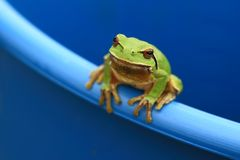 Green Tree Frog Stock Photos