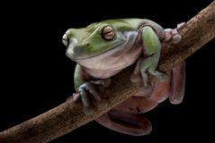 Green Tree-frog perched on a branch. A Green Tree-frog (also known as White's Tree-frog, Dumpy Tree-frog, Litoria caerulea) perched on a branch with black Stock Image
