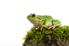 Green tree frog with piece of moos isolated on white Stock Photos