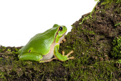 Green tree frog with piece of moos isolated on white Royalty Free Stock Images