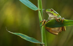 Green Tree Frog on a reed leaf (Hyla arborea). In nature royalty free stock images