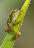 Green Tree Frog on a reed leaf (Hyla arborea) Royalty Free Stock Photo