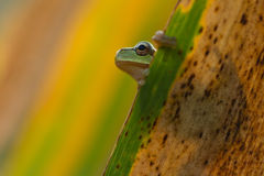 Green Tree Frog on a reed leaf (Hyla arborea) Royalty Free Stock Image