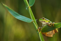Green Tree Frog on a reed leaf (Hyla arborea) Stock Photo