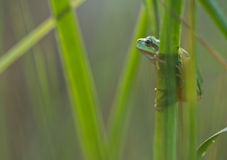 Green Tree Frog on a reed leaf Hyla arborea in nature Royalty Free Stock Image