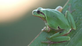 Green Tree Frog on a reed leaf at morning (Hyla arborea). In wildlife stock footage