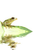 Green tree frog reflection. Tree frog sitting on a leaf with water reflection Royalty Free Stock Photo