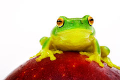 Green tree frog sitting on apple. Small green tree frog sitting on red apple stock photos