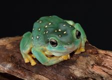 Green tree frog sitting on a branch royalty free stock images