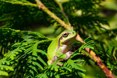 Green tree frog is sitting in the branches of a tree. Thuja Royalty Free Stock Photography
