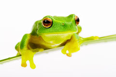 Green tree frog sitting on grass blade Royalty Free Stock Photography