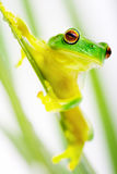 Green tree frog sitting on grass blade Stock Photography