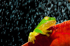 Green tree frog sitting on red leaf in rain. Little green tree frog sitting on red leaf in rain stock photo