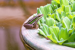 A green tree frog sitting on a tub and Water lettuce Royalty Free Stock Photos