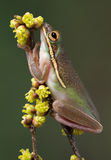 Green tree frog sniffing flowers Stock Photo