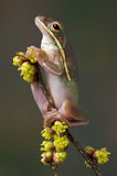 Green tree frog on spring plant. Royalty Free Stock Photos