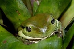 Green Tree Frog. Taken in Queensland Australia royalty free stock images
