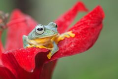 Green tree frog at the top of red flower. Rhacophorus reinwardtii is a species of frog in the family Rhacophoridae. It is variously known under the common names royalty free stock photography