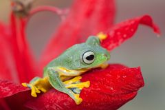Green tree frog at the top of red flower. Rhacophorus reinwardtii is a species of frog in the family Rhacophoridae. It is variously known under the common names royalty free stock photo