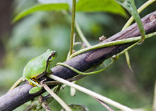 Green Tree Frog on Vine Stock Photo