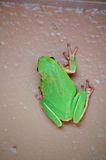 Green Tree Frog on wall Stock Photo