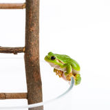 Green tree frog on the way up Stock Photo