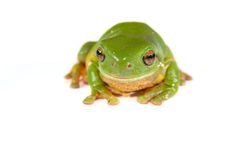 Green tree frog on white Stock Photography