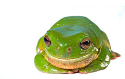 green tree frog on white  Royalty Free Stock Photo