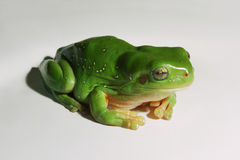 Green Tree Frog on white background Royalty Free Stock Photography