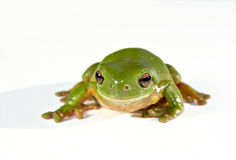 Green tree frog on white background Stock Photo