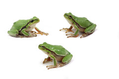 Green tree frog. On white background stock photo