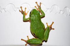 Green tree frog on white drip Stock Photo