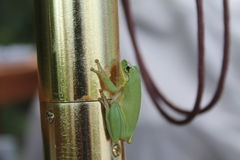 Green tree frog. Wild florida green tree frog Stock Image