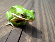 Green Tree Frog on the wooden deck Royalty Free Stock Images