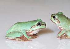 Green Tree frogs Royalty Free Stock Photography