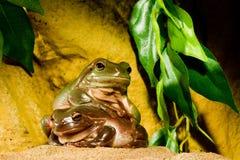 Green tree frogs Stock Photos