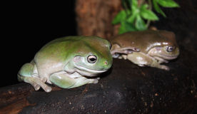 Green Tree Frogs Royalty Free Stock Photo