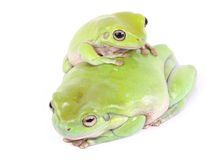 Green tree frogs Royalty Free Stock Photos