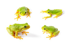Green tree frogs close up. Over white background Royalty Free Stock Photography
