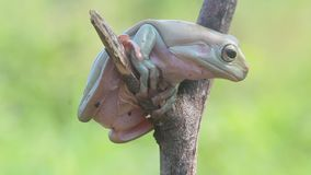 Green tree frogs, dumpy frogs, green tree frogs on leaves. Wallace`s flying frog, frogs, tree frogs, close up, amphibians Wallace`s flying frog, frogs, tree stock video footage