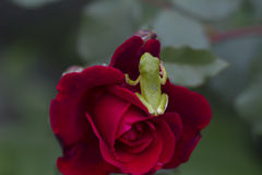 Green Tree Frogs and Red Roses Stock Image