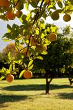 A green tree full of lemons. A green leafy tree full of yellow lemons on a warm summer day Stock Image