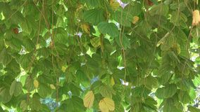 Green tree in garden. Phanera purpurea tree and leaves at the garden in Hai Phong province, Vietnam stock footage