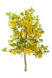 Green tree and Golden shower isolated on white. Background Royalty Free Stock Photo