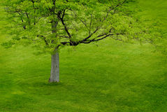 Green Tree on Green Hill Royalty Free Stock Images