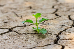 Green tree growing through dry cracked soil Royalty Free Stock Photos