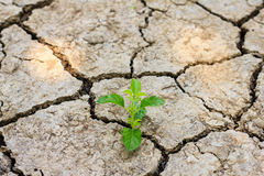 Green tree growing through dry cracked soil Royalty Free Stock Images