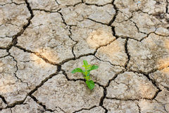 Green tree growing through dry cracked soil. Fresh green tree growing through dry cracked soil Royalty Free Stock Photography