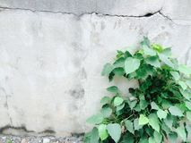 Green tree growing in front of wall plaster Royalty Free Stock Photography
